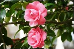 Buçaco - jardim do palácio -  duas camélias rosa