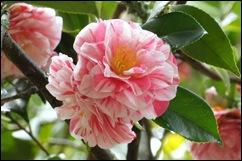 Buçaco - jardim do palácio - camelia rosa e branca