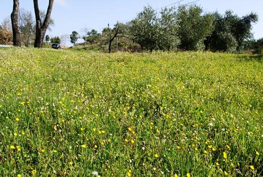 flores do campo amarelas 1