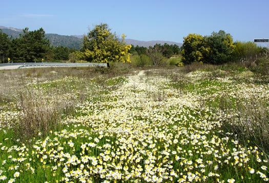 flores do campo 1