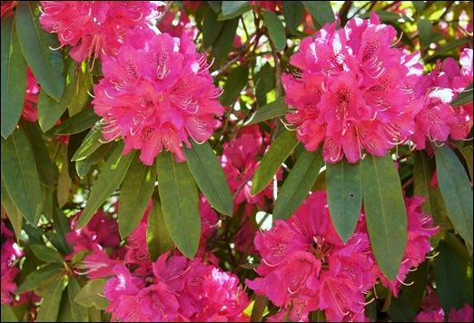 jardim serralves  - rododendron 1