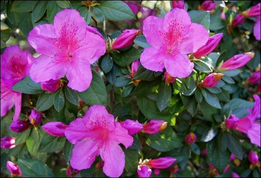 jardim serralves - porto - azaléias 2
