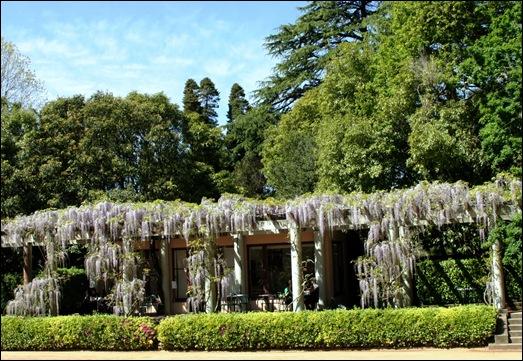 jardim serralves - porto - glicínias 11