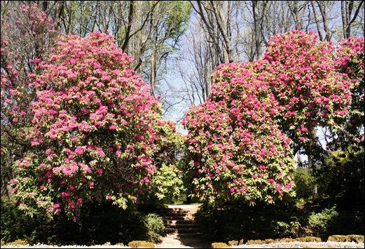 jardim serralves  - rododendron 4