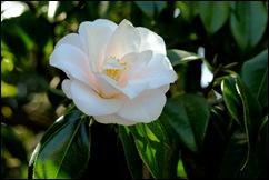 jardim serralves - flor camélia rosa clara