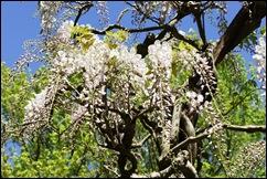 jardim serralves - porto - glicínias brancas