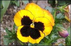 1.Trancoso -  amor perfeito amarelo e preto