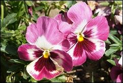 1.Trancoso -  amor perfeito rosa escuro