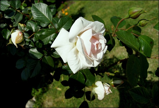 rosas brancas  1 - Gloria Ishizaka