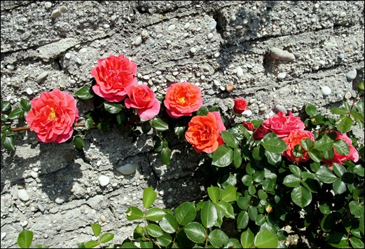 rosa trepadeira vermelha alaranjada - Gloria Ishizaka