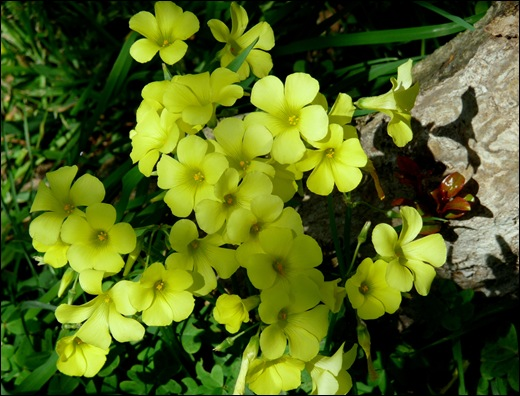 flor de trevo - Gloria Ishizaka