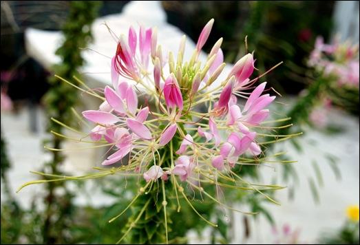 flor rosa - Glória Ishizaka