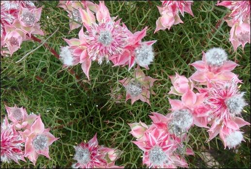 flores rosas - Gloria Ishizaka
