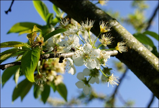 flor - ameixa amarela- Glória Ishizaka