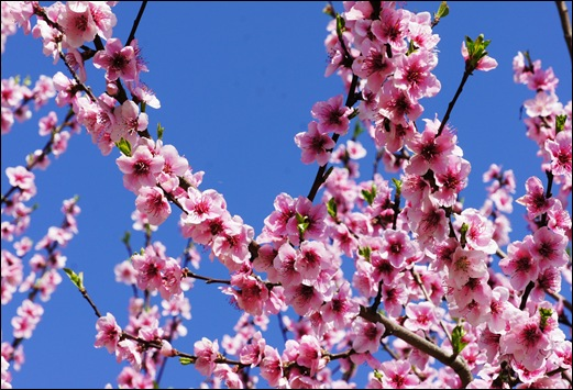 flor - pessego 1 - Glória Ishizaka