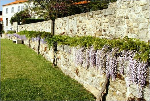 Linhares - inatel - muro com glicínias 1
