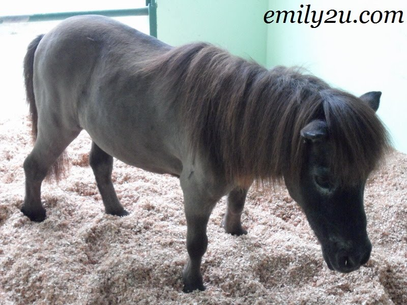 Fallabella (Registered Miniature Horse)
