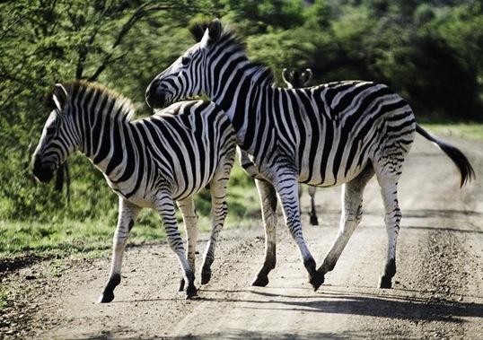 _MG_4653 hoppande zebra