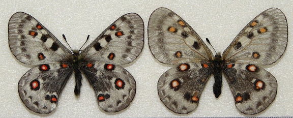 Parnassius (Parnassius) honrathi STAUDINGER & BANG-HAAS, 1882. Monts Hissar, Ouzbekistan. Photo : Pavel Morozov
