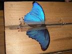 L'étalage du papillon : le Morpho
