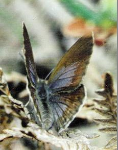Figure 1 : O. niobe femelle TRIMEN, 1862. Photo : David Edge