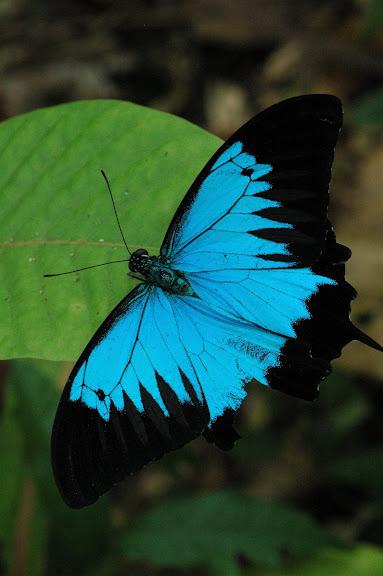 Papilio ulysses autolycus C. & R. FELDER, 1865. Warkapi, Arfak, août 2007. Photo : G. Zakine