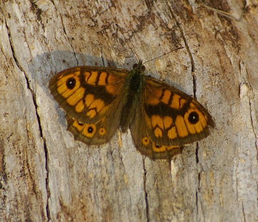 Lasiommata megera, les Hautes-Lisières (28260). Photo : J.-M. Gayman. 29 septembre 2008