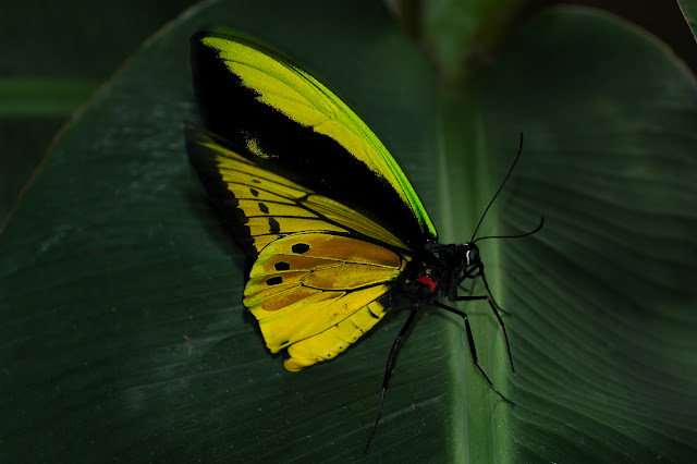 Ornithoptera goliath samson NIEPELT, 1913. Meni, Arfak, août 2007. Photo : Gilbert Zakine.