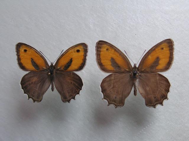 À gauche : Hyponephele davendra seravschanica LUKHTANOV, V. A., 1997 (recto). 35 km au nord de Dushanbe (Tadjikistan), 1505 m, 5.VII.2009. À droite : Hyponephele latistigma MOORE, 1893. B?yer Ahmad K?h-e Din?r env. Sisaht, 3000 m (Iran). 5.VII.2001. Photo : J.-F. Charmeux