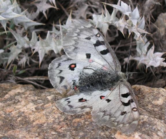 Parnassius jacquemonti pamirus BANG-HAAS, 1927. Kuh-i-Lal, 3600 m, 15 juillet 2007. Photo : J. Michel