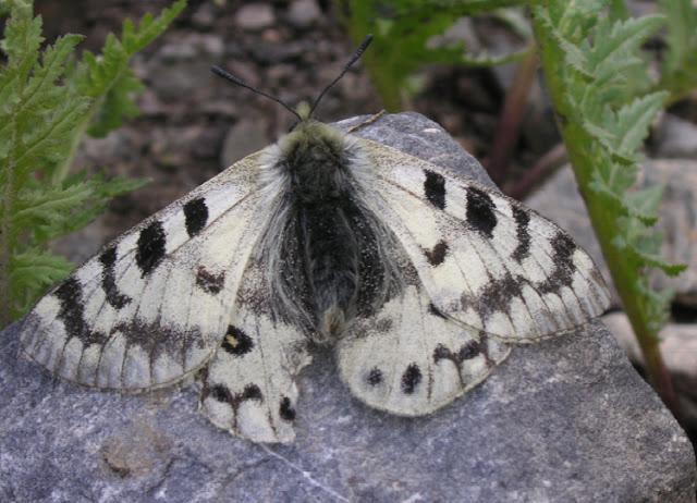 Parnassius staudingeri illustris GRUM-GRSHIMAILO, 1888. Anzob Pass, 3300 m, 3 août 2007. Photo : Jean Michel