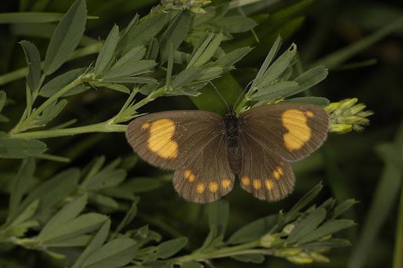 Erebia turanica susamyra LUKHTANOV, 1999, Kekemeren, 1er juillet 2006. Photo : B. Lalanne-Cassou