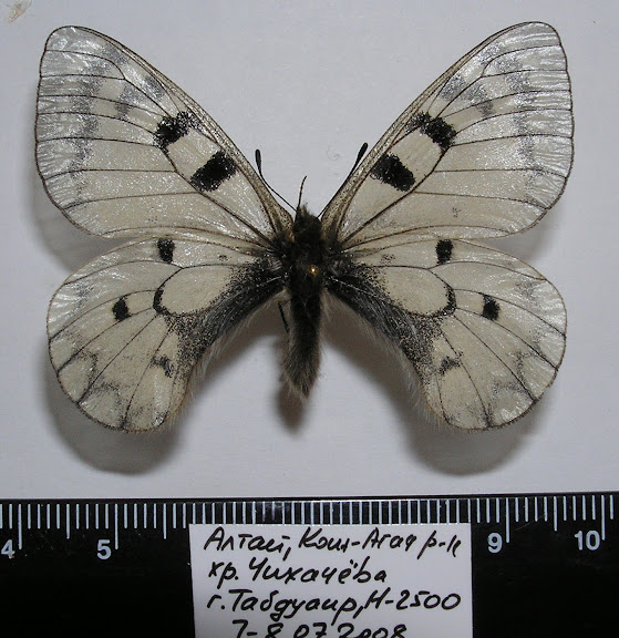 Parnassius (Driopa) ariadne erlik YAKOVLEV, 2009, mâle, paratype.