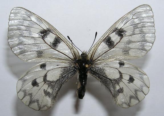 Parnassius (Driopa) ariadne erlik YAKOVLEV, 2009, femelle, paratype.