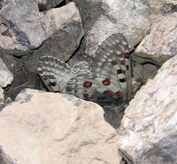 Couple de Parnassius jacquemonti pamirus : femelle à droite. Ayu Keziu, au-delà de l'Ak Su, 35 km à l'est de Murghab, Pamir, Tadjikistan, 25 juillet 2007. Photo : F. Michel