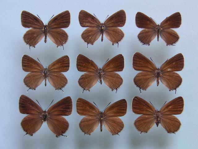 1, 2, 3 : Satyrium (Superflua) mirabilis ERSCHOFF, 1874