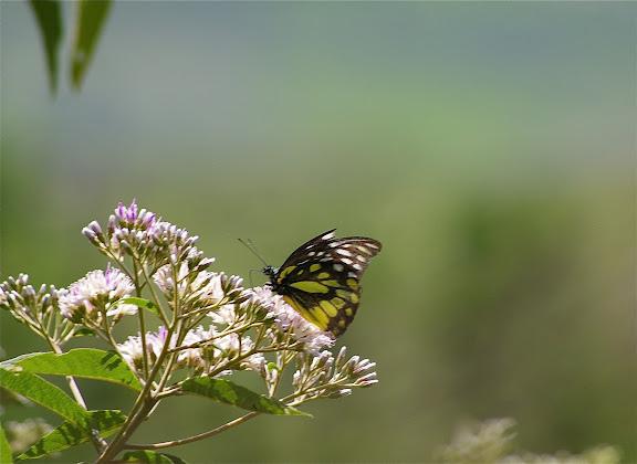 Prioneris thestylis thestylis DOUBLEDAY, 1842 (mâle, f. saison humide). Cang Shan (2400 m) au-dessus de Xizhou (Yunnan), 6 août 2010. Photo : J.-M. Gayman