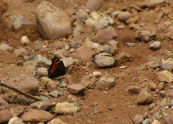 Aglais urticae LINNAEUS, 1758. Ouest de Shaxi (Yunnan), 3000 m, 10 août 2010. Photo : J.-M. Gayman