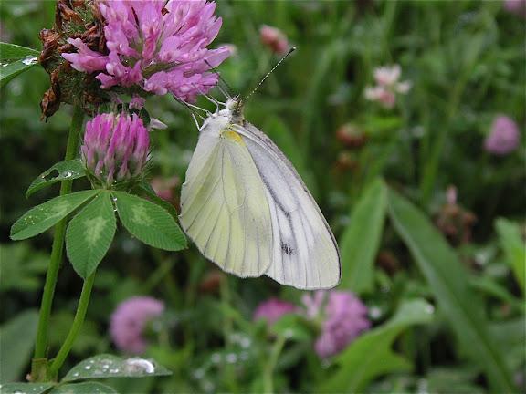 Pieris dulcinea dulcinea BUTLER, 1882. Romanovka, 18 juillet 2010. Photo : J. Michel