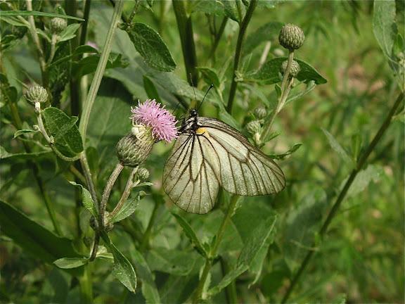 Aporia hippia BREMER, 1861, mâle. 6 km au sud d'Anisimovka, 21 juillet 2010. Photo : J. Michel