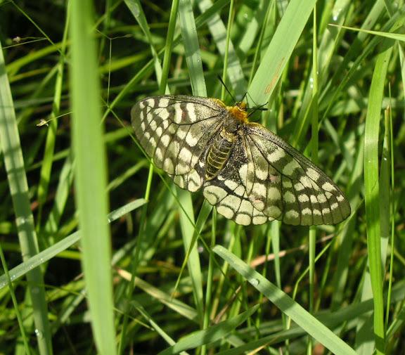Parnassius eversmanni MÉNÉTRIÈS, 1855, femelle (700 m). 10 km au nord de Krasnorechenskij près de Dal'negorsk, 25 juillet 2010. Photo : J. Michel