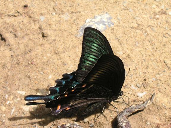 Papilio maackii MÉNÉTRIÈS, 1859. 6 km au sud d'Anisimovka, 19 juillet 2010. Photo : J. Michel