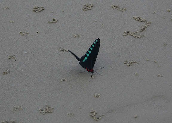 Trogonoptera trojana HONRATH, 1886, mâle, sur la plage de Port Barton, Palawan, 16 août 2005. Photo : J.-M. Gayman