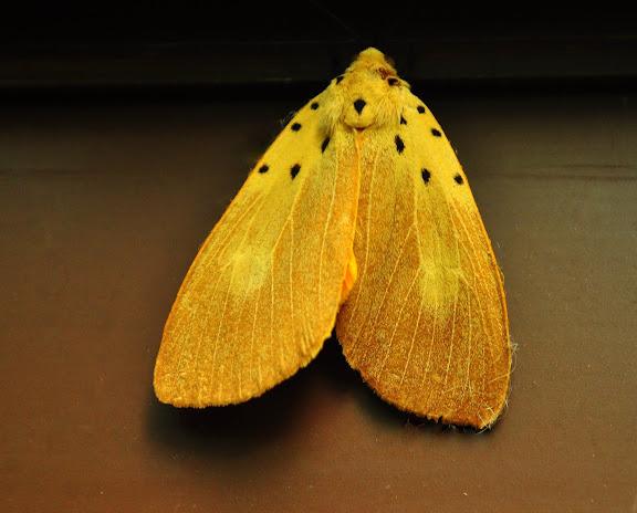 Erebidae : Aganainae : Asota iodamia HERRICH-SCHAFFER, [1854]. Umina Beach, New South Wales (Australie), 17 décembre 2010. Photo : Barbara Kedzierski Cf. :http://lepidoptera.butterflyhouse.com.au/agan/iodamia.html