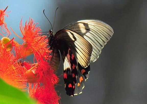 Papilio aegeus aegeus DONOVAN, 1805, femelle. Wyrrabalong Nat. Park (New South Wales, Australie), 28 janvier 2011. Photo : Barbara Kedzierski