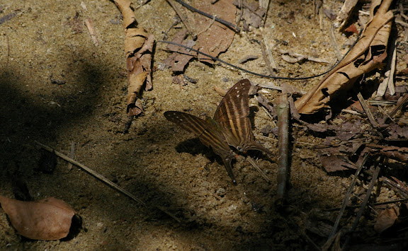 Marpesia chiron FABRICIUS, 1775. Partie orientale d'Ilha Grande (RJ), 18 février 2011. Photo : J.-M. Gayman