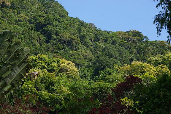 Biotope de Morpho aega : la Mata atlantica à Picinguaba (SP), 20 février 2011. Photo : J.-M. Gayman
