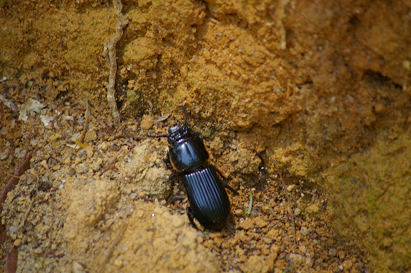 Tenebrionidae. Arariba (Ubatuba, SP), 22 février 2011. Photo : J.-M. Gayman