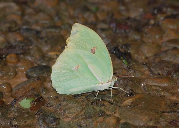 Coliadinae : Anteos menippe HÜBNER, (1818). Explorer's Inn, Tambopata (Madre de Dios, Pérou), 31 décembre 2010. Photo : Meena