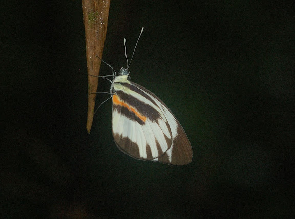 Pierinae : Perrhybris pamela amazonica FRUHSTORFER, 1907. Explorer's Inn, Tambopata (Madre de Dios, Pérou), 1er janvier 2011. Photo : Meena
